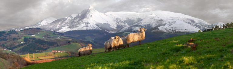 Carneros en Monte Txindoki en Aralar Goierri Gipuzkoa
